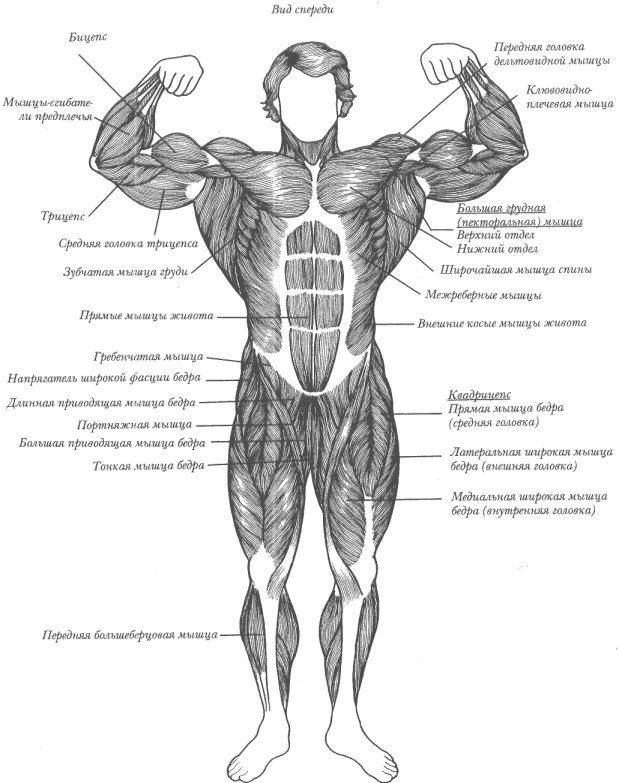 Основные группы мышц (вид